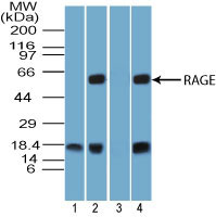 WB - AGER / RAGE Antibody (aa350-400) ALS15289