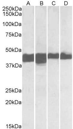 WB - CKM / Creatine Kinase MM Antibody (N-Terminus) ALS16295