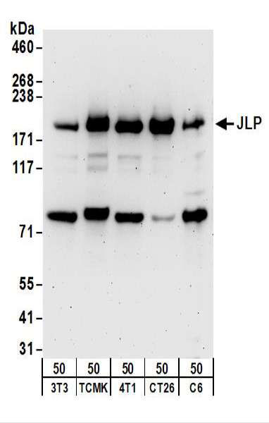 WB - SPAG9 Antibody (aa1-50) ALS16322