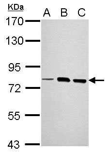 WB - LOXL2 Antibody (aa454-742) ALS16338