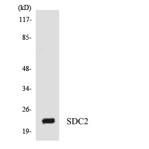 WB - SDC2 / Syndecan 2 Antibody (aa65-114) ALS16357