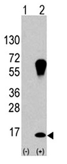 WB - LC3 (APG8A) (Isoform A specific) Antibody ABV10186