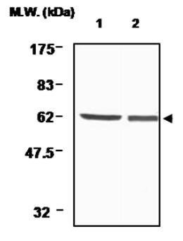 WB - Thioredoxin Reductase 1 Antibody (19A1) ABV11157