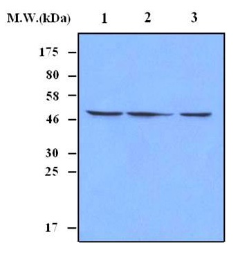WB - Ferredoxin Reductase Antibody (Clone 6C2) ABV11178