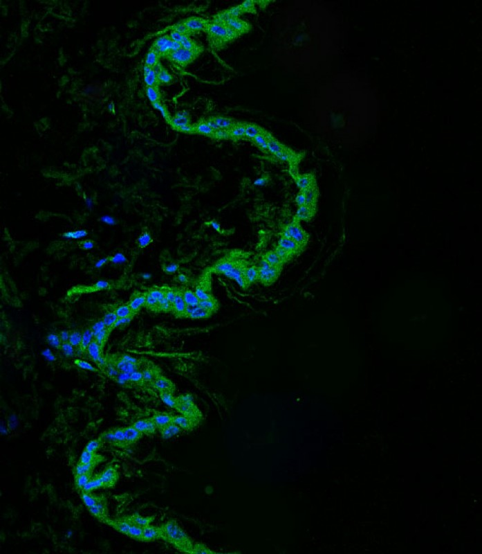 IF - Mouse Srms Antibody (Center) AP21128a