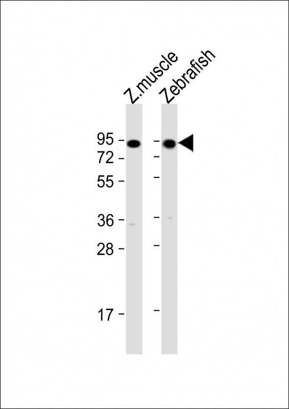WB - hsp90a.1 Antibody (Center) Azb18696c