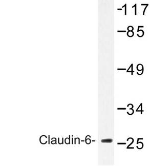 WB - CLDN6 / Claudin 6 Antibody (Val118) ALS16558