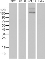 WB - ABCB1 / MDR1 / P Glycoprotein Antibody (clone 6H2) ALS16577