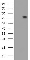 WB - FMR1 / FMRP Antibody (clone 1D10) ALS16717