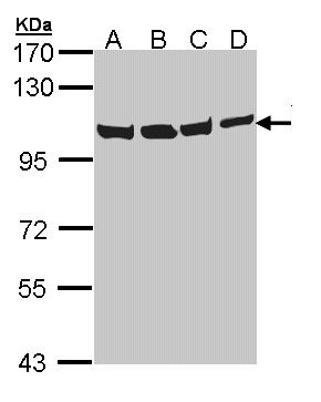 WB - VCP Antibody (aa1-206) ALS16938