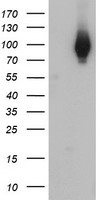 WB - Complement C1s Antibody (clone 2D11) ALS16947
