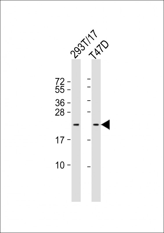 WB - TC10 Antibody (Center) AP5855c