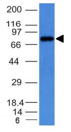 WB -  IgM (Immunoglobulin Mu Heavy Chain) (B-Cell Marker) Antibody - Without BSA and Azide AH10508