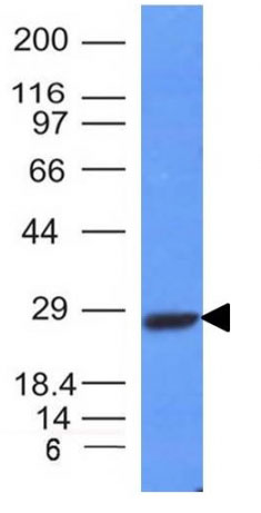 WB -  Kappa Light Chain (B-Cell Marker) Antibody - Without BSA and Azide AH10509