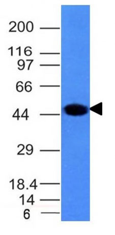 WB -  Cytokeratin 8 (KRT8) Antibody - Without BSA and Azide AH10550-100