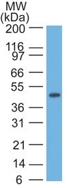 WB -  Cytokeratin 17 (KRT17) (Basal Epithelial Marker) Antibody - Without BSA and Azide AH10565