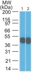WB -  Cytokeratin 18 (KRT18) Antibody - With BSA and Azide AH10569