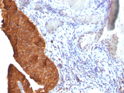 IHC -  Cytokeratin 19 (KRT19) (Pancreatic Stem Cell Marker) Antibody - Without BSA and Azide AH10579-100
