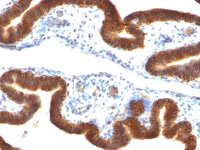 IHC -  Ep-CAM / CD326 (Epithelial Marker) Antibody - With BSA and Azide AH10585