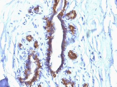 IHC -  MUC1 / EMA / CD227 (Epithelial Marker) Antibody - Without BSA and Azide AH10599