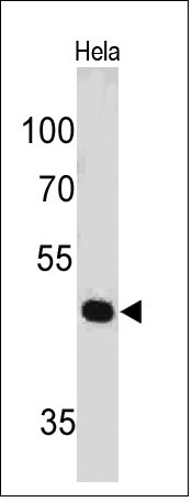 WB -  PAX7 (Rhabdomyosarcoma Marker) Antibody - Without BSA and Azide AH10646