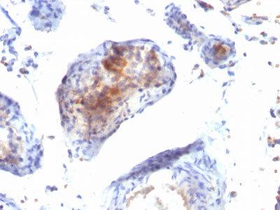 IHC -  FOXP3 (Forkhead Box Protein P3) / Scurfin Antibody - Without BSA and Azide AH10648