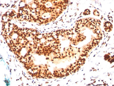 IHC -  SUMO-2/3 Antibody - Without BSA and Azide AH10740