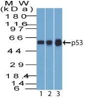WB -  p53 Tumor Suppressor Protein Antibody - Without BSA and Azide AH10775-100