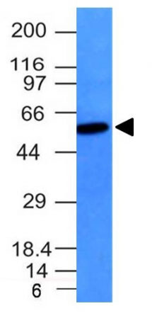 WB -  Vimentin (Mesenchymal Cell Marker) Antibody - Without BSA and Azide AH10808