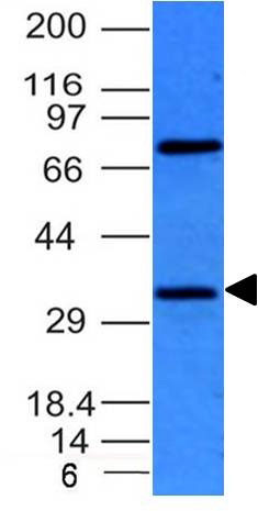 WB -  BCL10 (MALT-Lymphoma Marker) Antibody - Without BSA and Azide AH10828-100