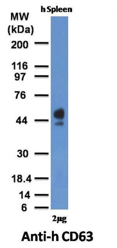 WB -  CD63 (Late Endosomes Marker) Antibody - Without BSA and Azide AH10885-100