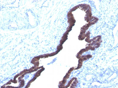 IHC -  Cytokeratin 8/18 Antibody - Without BSA and Azide AH10976
