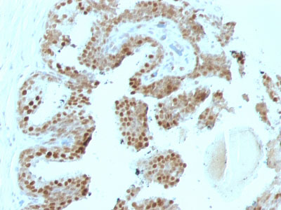 IHC -  p57Kip2 (Mitotic Inhibitor/Suppressor Protein) Antibody - With BSA and Azide AH11019-20
