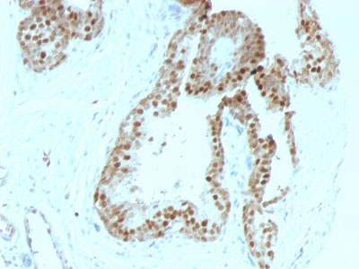 IHC -  p57Kip2 (Mitotic Inhibitor/Suppressor Protein) Antibody - Without BSA and Azide AH11023-100