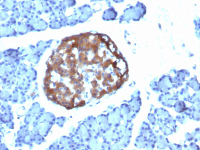 IHC -  Chromogranin A / CHGA (Neuroendocrine Marker) Antibody - Without BSA and Azide AH11093