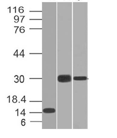 WB -  CELA3B / ELA3B (Pancreatic Function Marker) Antibody - Without BSA and Azide AH11229
