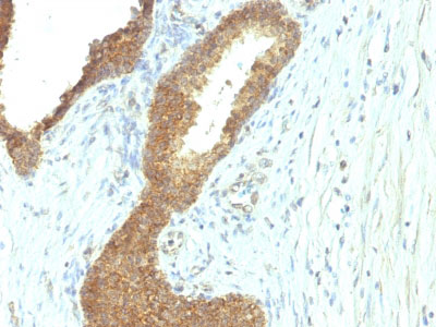 IHC -  Alkaline Phosphatase (Intestinal) Antibody - Without BSA and Azide AH11244-100