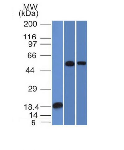 WB -  TOX3 / TNRC9 Antibody - Without BSA and Azide AH11333