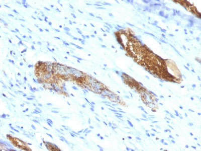 IHC -  Blood Group Antigen A (CD173) Antibody - With BSA and Azide AH11348-20