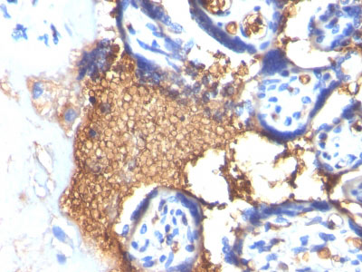 IHC -  Glycophorin A / CD235a (Erythrocyte Marker) Antibody - With BSA and Azide AH11379