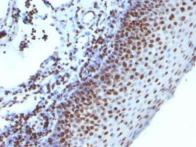 IHC -  Histone H1 (Nuclear Marker) Antibody - Without BSA and Azide AH11394