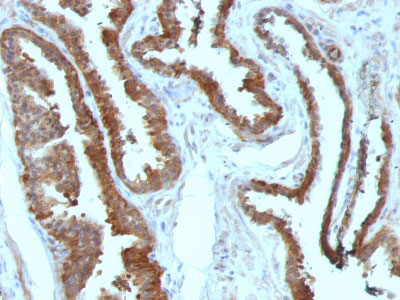 IHC -  HSP27 (Heat Shock Protein 27) Antibody - With BSA and Azide AH11459-20