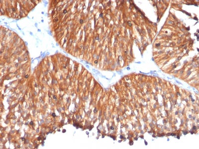 IHC -  HSP60 (Heat Shock Protein 60) (Mitochondrial Marker) Antibody - Without BSA AH11467
