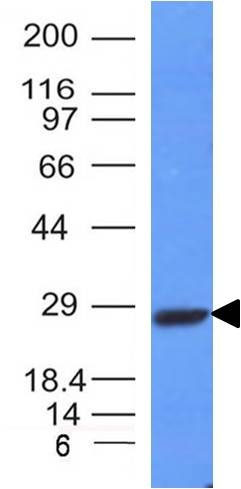 WB -  Kappa Light Chain (B-Cell Marker) Antibody AH11543