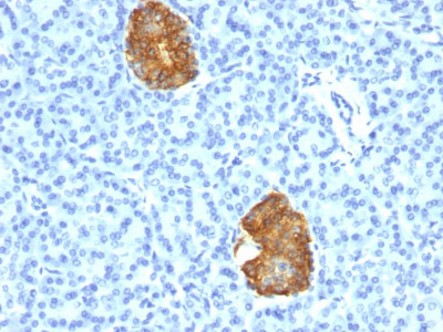 IHC -  Insulin / IRDN (beta-Cell & Insulinoma Marker) Antibody AH11584-7