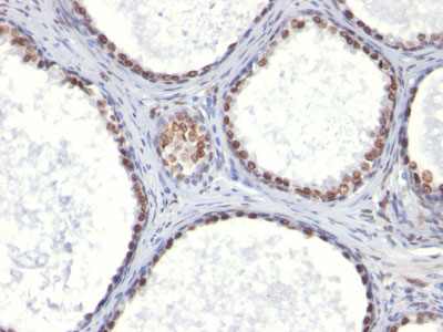 IHC -  Androgen Receptor (Marker of Androgen Dependence) Antibody - Without BSA and Azide AH11593-100