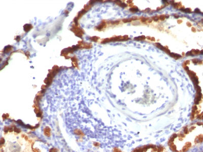 IHC -  Cytokeratin 7 (KRT7) (Glandular and Transitional Epithelial Marker) Antibody - Without BSA and Azid AH11654-100