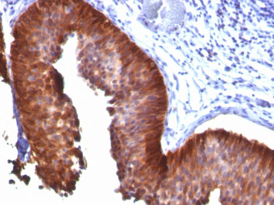 IHC -  Cytokeratin 18 (KRT18) Antibody - Without BSA and Azide AH11712