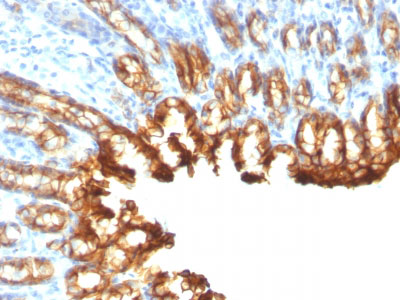IHC -  Cytokeratin 19 (KRT19) (Pancreatic Stem Cell Marker) Antibody - Without BSA and Azide AH11735