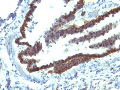 IHC -  Ep-CAM / CD326 (Epithelial Marker) Antibody - Without BSA and Azide AH11756